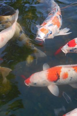 Koi Fish Journal