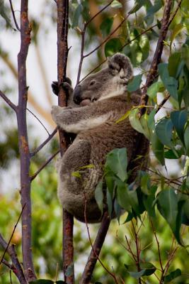 Koala Bear Animal Journal