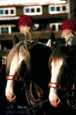 Equine Journal Draft Horse Tandem