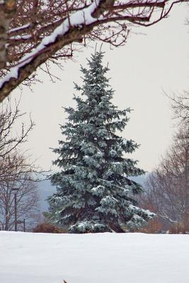 Solitary Snow Covered Evergreen Tree Winter Journal