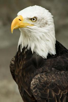 Bald Eagle Bird Journal
