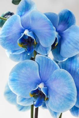 Blue Orchid Exotic Flower Lined Journal