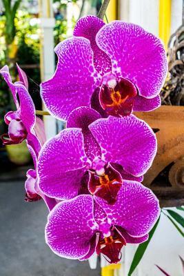 Beautiful Purple Orc...