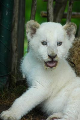 An Oh So Cute White Lion Cub Baby Animal Journal