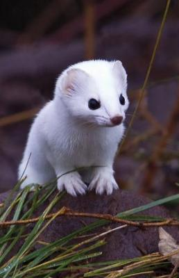 Short-Tailed Weasel ...