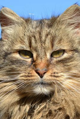 A Cool Intense Golden-eyed Long-haired Domestic Cat Journal