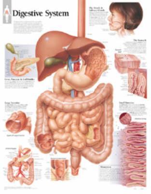 Digestive System, La...
