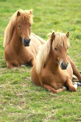 Two Icelandic Ponies Animal Journal