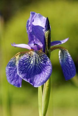 A Beautiful Purple Iris Flower Journal