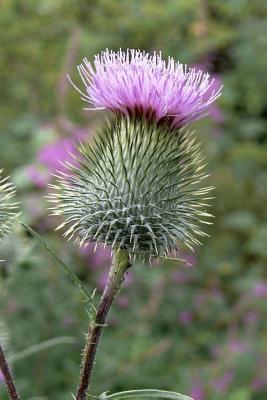 Purple Thistle Bloom...