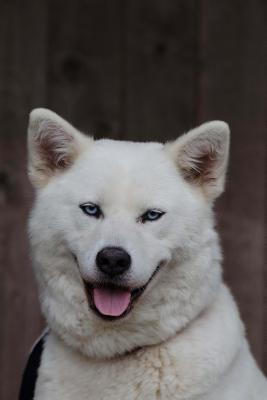 White Akita Inu (Husky Hybrid) Dog Journal