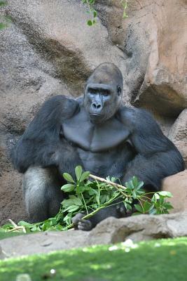 Gorilla Taking It Ea...
