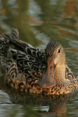 Northern Shoveler Duck (Anas Clypeata) Journal