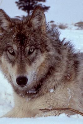 Gray Wolf in a Winter Coat Portrait Journal
