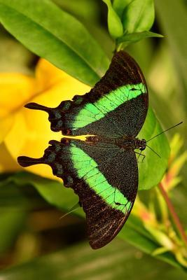 Full Display of an Emerald Swallowtail Butterfly Journal