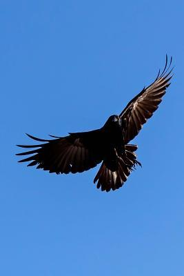 American Crow Journal