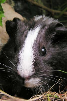 So Very Cute Black and White Guinea Pig Pet Lined Journal