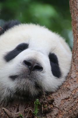 Pat the Panda Takes ...