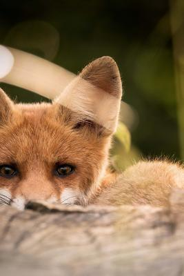 Little Fox Peering Out Behind a Log Lined Journal