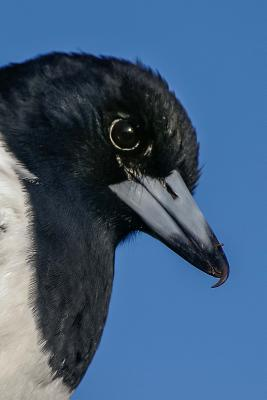 Pied Butcherbird Animal Journal