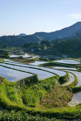 Flooded Rice Terrace...