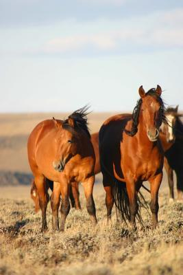 A Herd of Chestnut Wild Horses in Southwest Wyoming USA Animal Journal