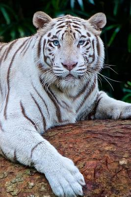 Awesome Lounging White Bengal Tiger Big Cat Journal
