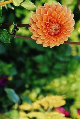 Orange Dahlia In a N...