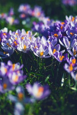 A Cluster of Crocus Blooms in the Grass Journal