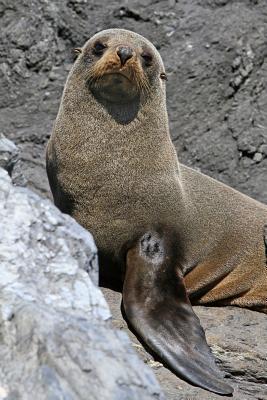 Antarctic Fur Seal Journal