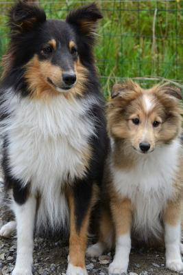 Cute Mom and Baby Collie Dogs Journal