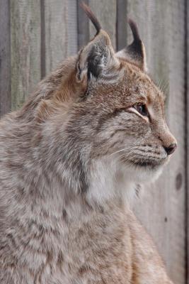 Canadian Lynx Portra...