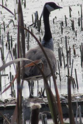 A Canada Goose in the Reeds Journal