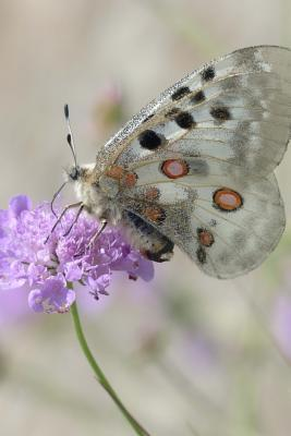 A Delicate Apollo Butterfly Parnassius Apollo on a Purple Flower Journal
