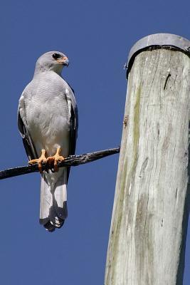 Goshawk Bird of Prey Journal