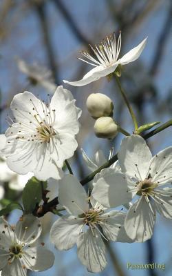 White Blossoms Password Log Journal