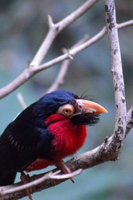 African Bearded Barbet in a Tree Journal