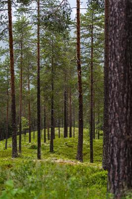 A Walk Through the Pine Tree Forest Journal