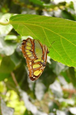 A Malachite Butterfly Journal