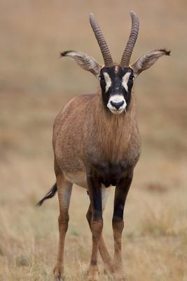 A Young Roan Antelope in Africa Lined Journal
