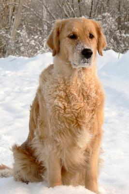 Golden Retriever in the Snow Dog Journal
