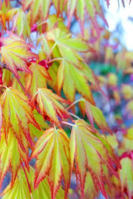 Spring Japanese Maple Leaves Journal