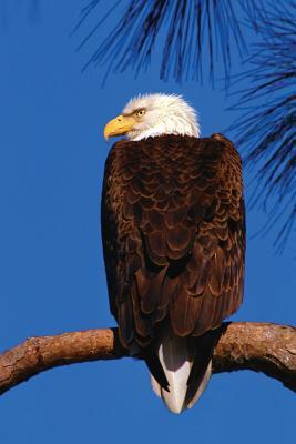 Bald Eagle Any Day P...
