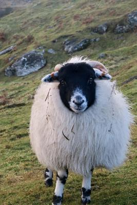 Fluffy Scottish Blac...